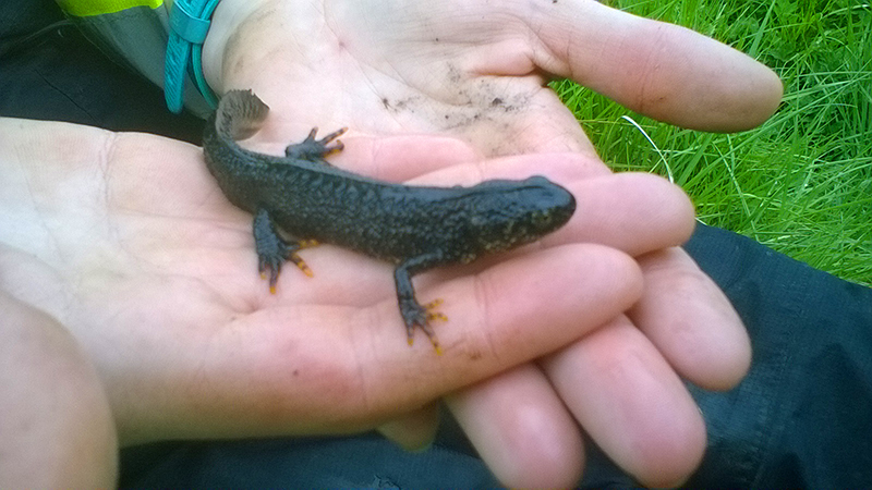 Swindon - Great Crested Newt