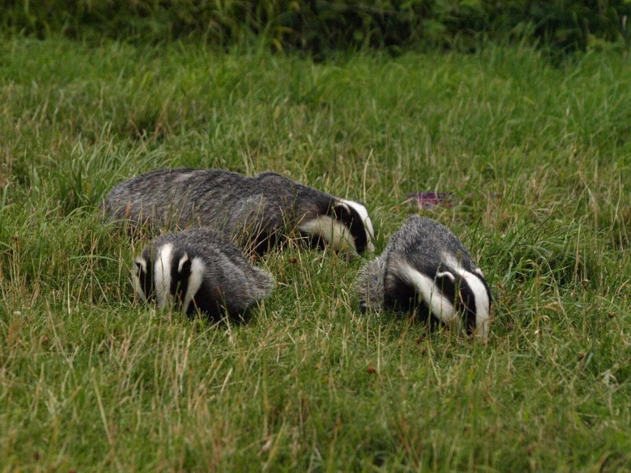 badger and licensing