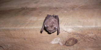Lesser Horseshoe Bat
